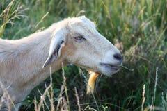 Женская коза Nubian жуя травы в выгоне стоковая фотография rf