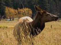 Женская корова лося на национальном парке скалистой горы Стоковое Фото