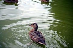 Женская кряква дикой утки на небольшом озере Стоковые Фото