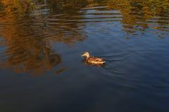 Женская кряква, испещрянная дикая утка, Стоковая Фотография RF