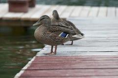 Женская кряква на озере Стоковые Фотографии RF