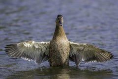 Женская кряква с протягиванными крылами Стоковое фото RF