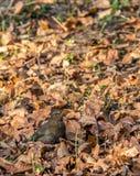 Женская кукушка Стоковые Фото