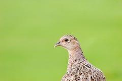 женская курица рассматривая плечо фазана Стоковое Изображение RF
