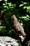 женская куропатка Стоковая Фотография RF