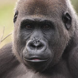 женская низменность гориллы западная стоковое фото rf
