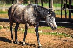 Женская лошадь Стоковое Изображение