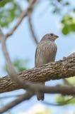 Женская птица зяблика дома на ветви дерева Стоковые Изображения