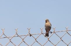 Женская птица зяблика дома на загородке Стоковое Фото
