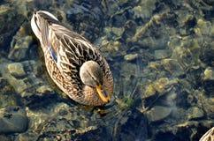 Женская птица кряквы дикой утки плавает в воде в солнечности, над взглядом Стоковые Изображения