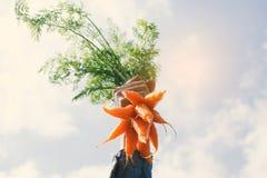 Женская рука держа морковь младенца Стоковое Изображение