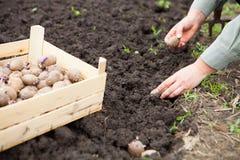 Женская рука засаживая клубни картошки в почву Стоковое Фото