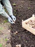 Женская рука засаживая клубни картошки в почву Стоковые Фотографии RF