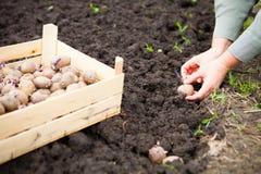 Женская рука засаживая клубни картошки в почву Стоковые Фото