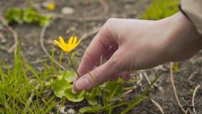 Женская рука комплектуя вверх желтый цветок от травы акции видеоматериалы