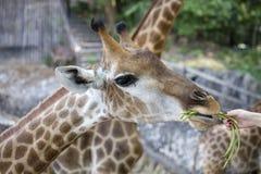 Женская рука предлагает еду для жирафа на зоопарке Стоковые Фотографии RF