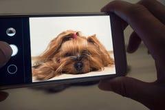 Женская рука принимает малую собаку на smartphone стоковые фото