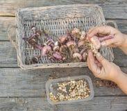 Женская рука - сортированные шарики гладиолуса Стоковая Фотография