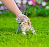 Женская рука patting котенок на зеленой траве Стоковые Изображения