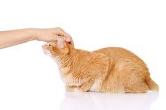 Женская рука patting кот На белой предпосылке Стоковое Изображение