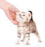 Женская рука patting милый котенок На белой предпосылке Стоковые Изображения RF