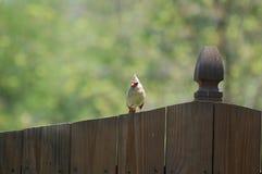 Женская северная кардинальная птица Стоковое Фото