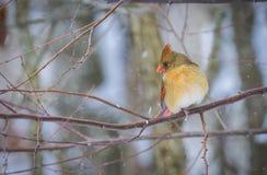 Женская северная кардинальная птица в зиме Стоковые Фотографии RF