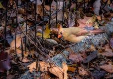 Женская северная кардинальная птица на Central Park - Нью-Йорке, США Стоковая Фотография