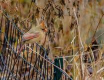 Женская северная кардинальная птица на Central Park - Нью-Йорке, США Стоковые Фото