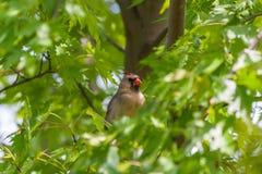 Женская северная кардинальная птица (cardinalis Cardinalis) Стоковые Изображения RF