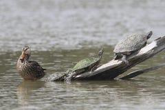 Женская кряква и 3 черепахи - Техас Стоковая Фотография