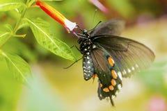 Женская североамериканская бабочка swallowtail, конец вверх по съемке макроса стоковые фотографии rf