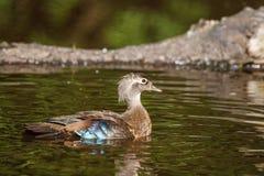 Женская сер-коричневая деревянная утка на озере на лете Стоковые Фото
