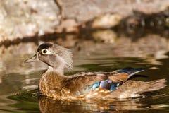 Женская сер-коричневая деревянная утка на озере на лете Стоковое Изображение RF