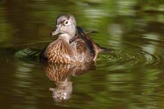 Женская сер-коричневая деревянная утка на озере на лете Стоковая Фотография