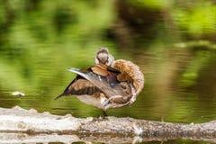 Женская сер-коричневая деревянная утка на озере на лете Стоковые Изображения