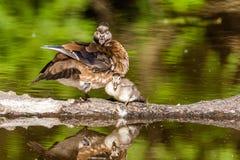 Женская сер-коричневая деревянная утка на озере на лете Стоковые Изображения RF