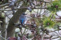 Женская синяя птица горы Стоковое Изображение