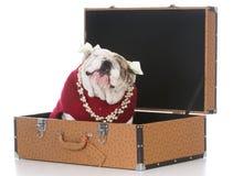Женская собака внутри чемодана Стоковое фото RF