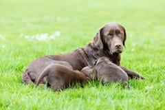 Женская собака retriever labrador с щенятами Стоковые Фото