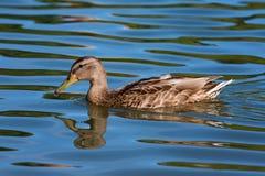 Женская утка кряквы Стоковое Изображение