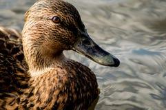 Женская утка кряквы Стоковое фото RF