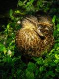 Женская утка 2 кряквы Стоковые Изображения
