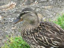 Женская утка кряквы Стоковые Фото