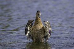 Женская утка кряквы Стоковая Фотография RF
