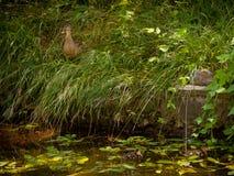 Женская утка полно закамуфлированная в высокорослой траве с 2 молодыми утятами Стоковые Фото