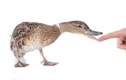 Женская утка Стоковые Фотографии RF