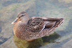 Женская утка Стоковые Изображения RF