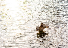 Женская утка Стоковое Изображение RF
