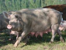 женская хавронья свиньи Стоковые Изображения